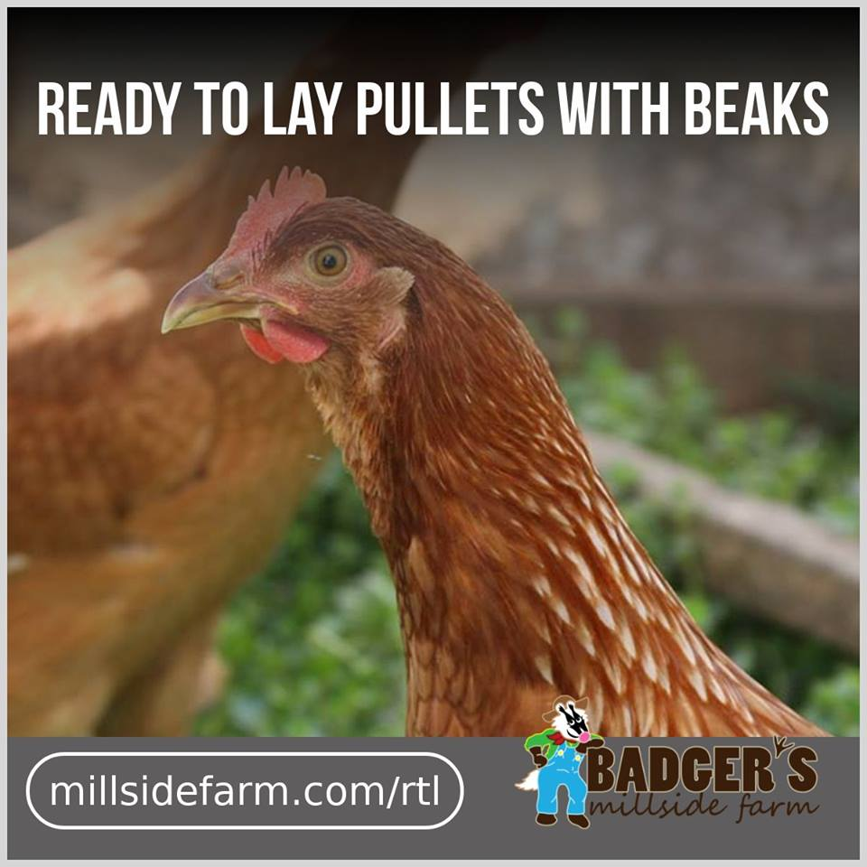 Full Beak Ready-to-Lay Pullets in May
