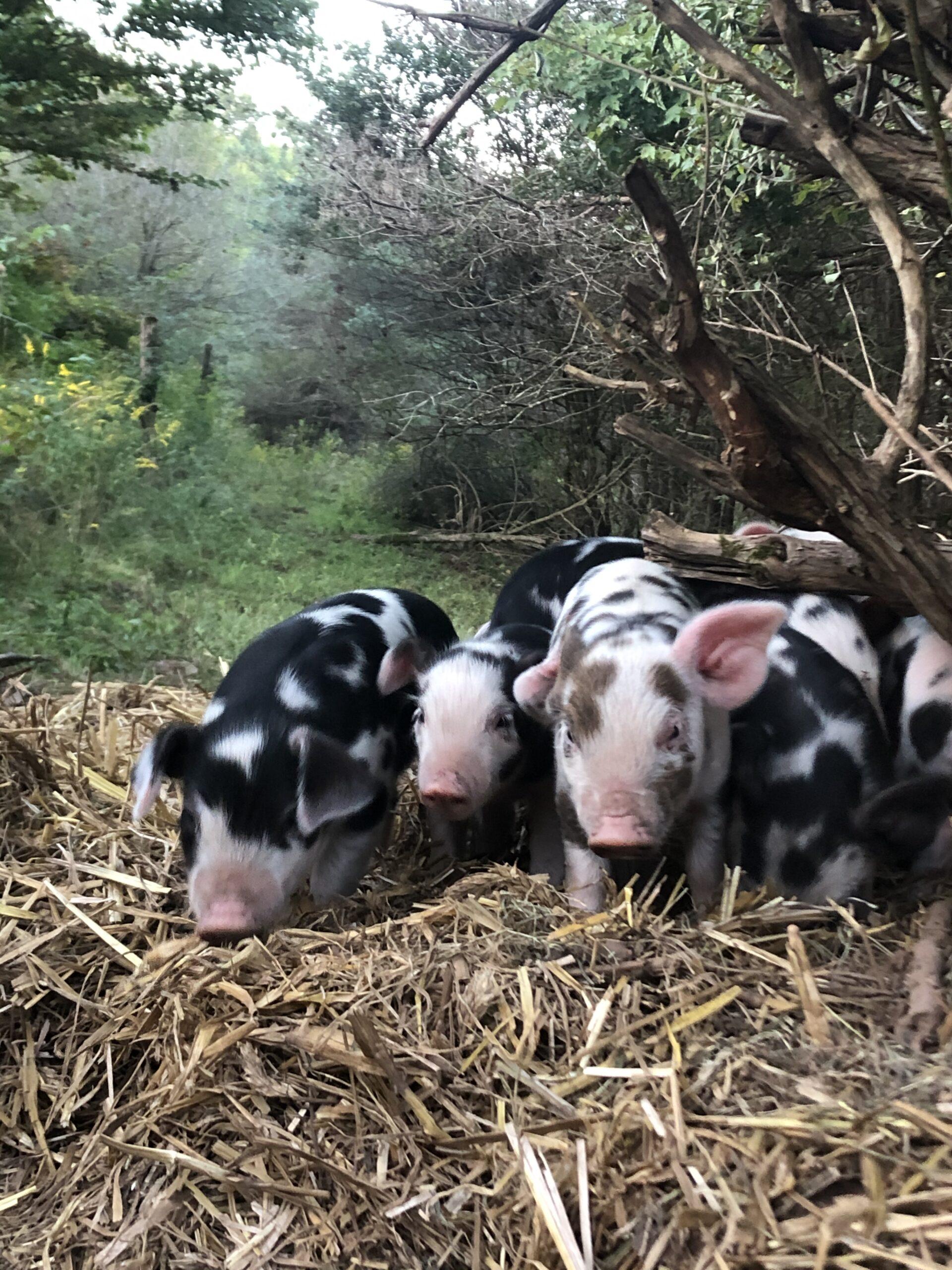 Pasture Raised Piglets