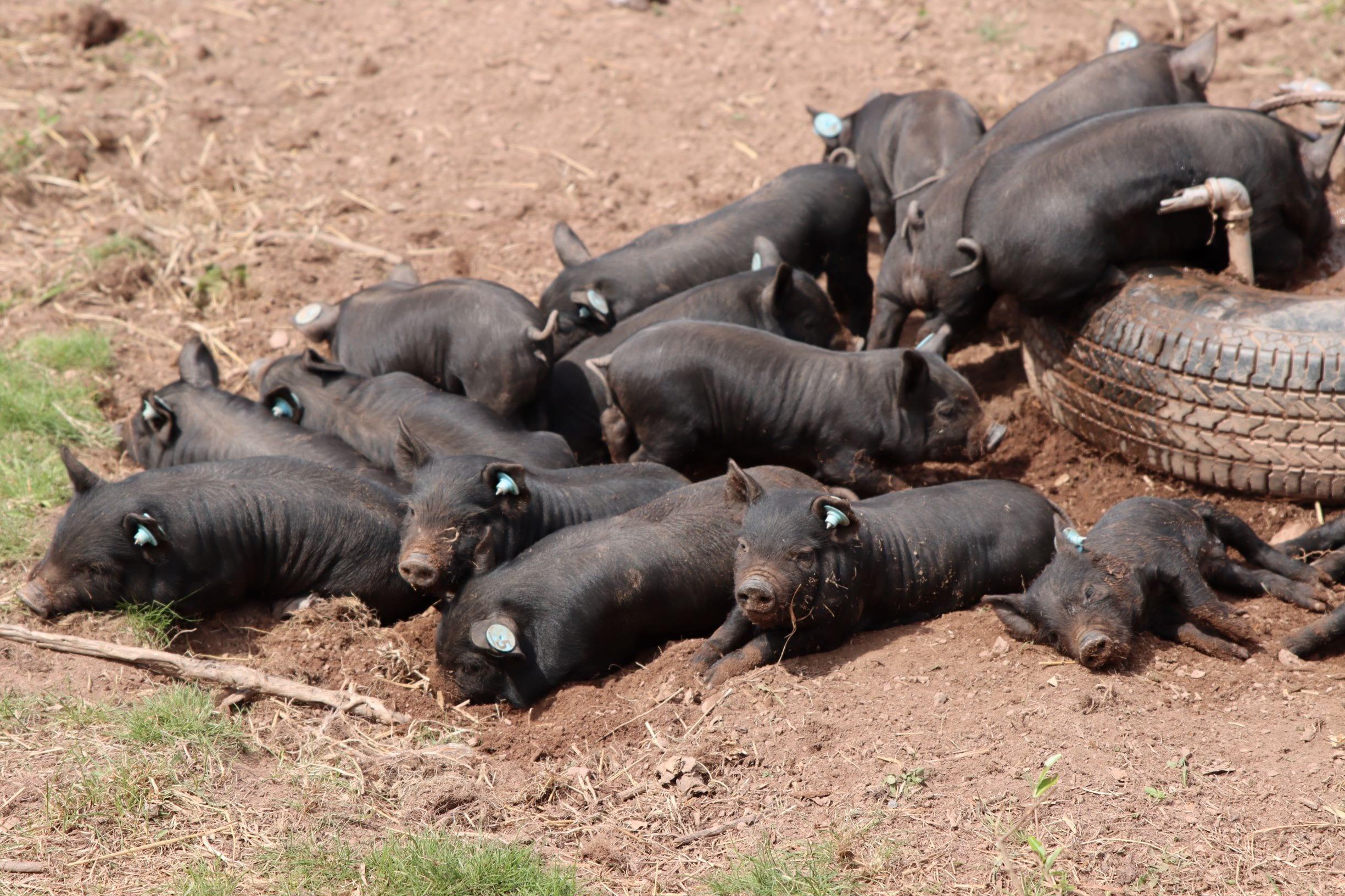 American Guinea Hog (AGH)/ Idaho Pasture Pig (IPP) Crosses