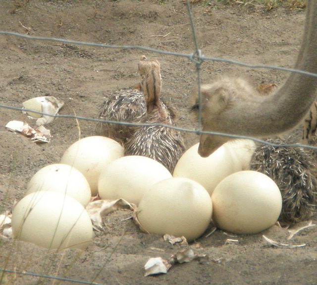 Ostrich ,Emu  Rhea, peacocks Chicks & Fertile Eggs for sale